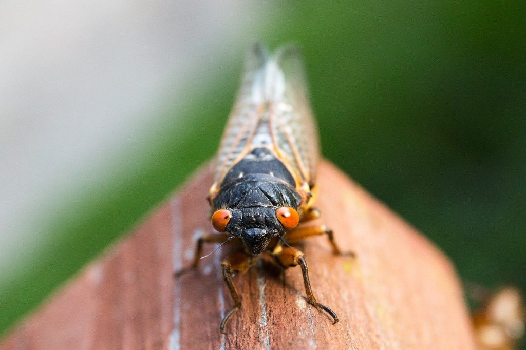 The Brood X Cicadas are Finally Here. [What?] We said: THE BROAD X CICADAS ARE FINALLY HERE